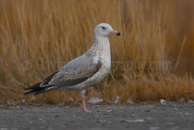 Herring Gull (1st winter)