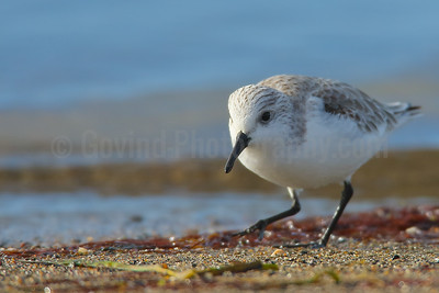 Foraging Sanderling in Winter Plumage