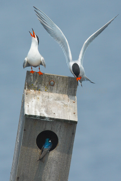 Forster's Terns and Tree Swallow