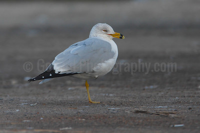 Ring-bill Gull