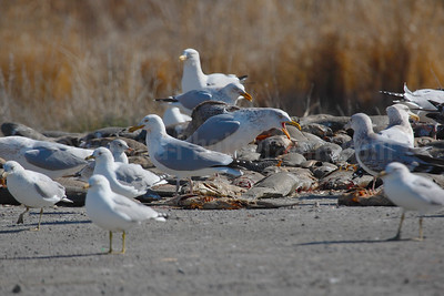 Gulls at Carp Kill