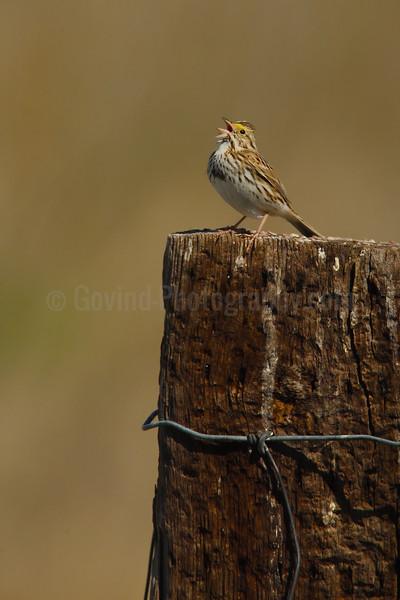 Savannah Sparrow Territorial SInging