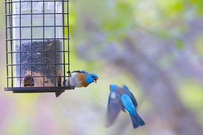 Lazuli Buntings (Male)