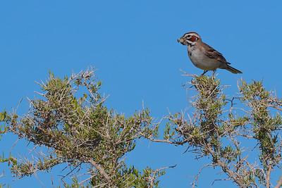 Lark Sparrow with Locust