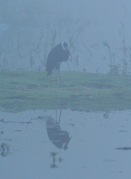 White-necked Stork in Early Morning Mist
