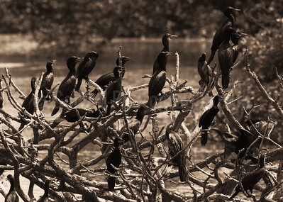 Cormorants and Darter