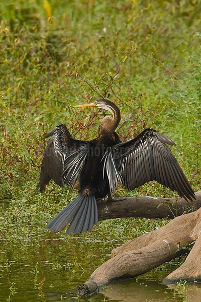 Darter (a.k.a Snake Bird or Anhinga)