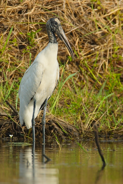 Wood Stork Sunning in the Morning