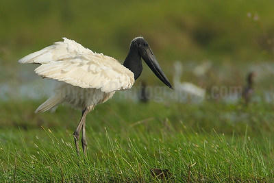 Jabiru Wingstretch