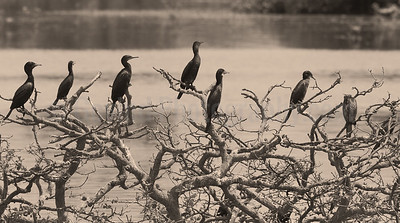Cormorants at Noon