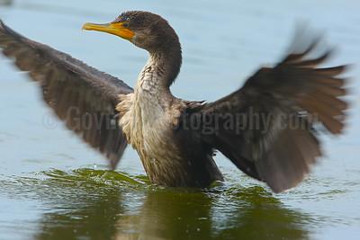 Juvenile double-crested cormorant