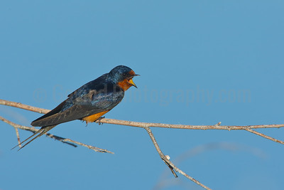 Barn Swallow Calling