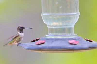 Black-chinned Hummingbird (Male)