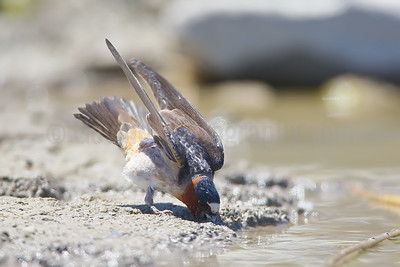 Cliff Swallow Collecting Nesting Mud