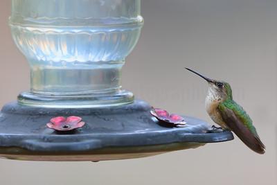 Broad-taile Hummingbird (Female)