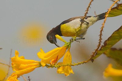 Feeding Purple-rumped Sunbird