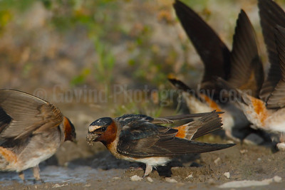 Cliff Swallows Collecting Nesting Material