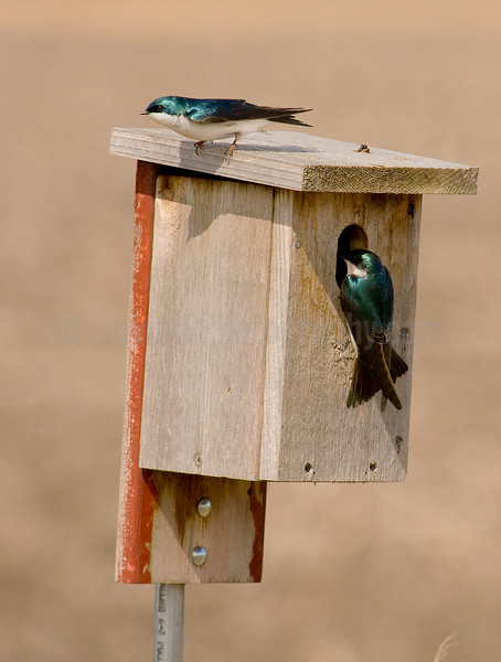 Nesting Tree Swallows