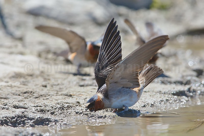 Cliff Swallows Collecting Nesting Mud