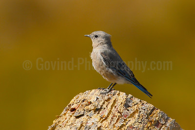 Mountain Bluebird (F)
