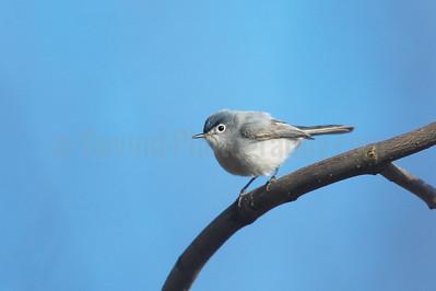 Blue-gray Gnatcatcher