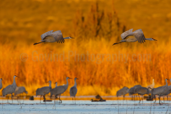 Sandhill Crane Pair in Flight