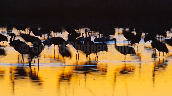 Cranes on the Rio Grande River at Sunset