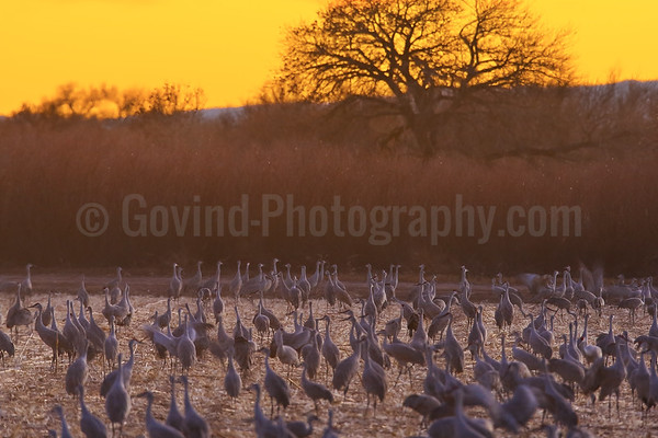Sandhill Cranes Socializing at Sundown