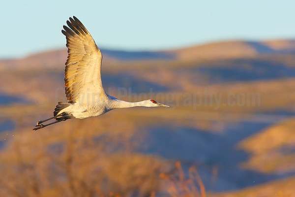 Sandhill Crane Flight Against Chupadera Mountains