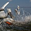 Dalmatian pelican, splash...