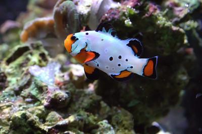 Frostbite Clownfish