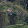 Groenvleugelara; 2019; Ara chloropterus; Redandgreen macaw; Ara chloroptère; Grünflügelara