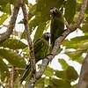 Roodschouderara; Diopsittaca nobilis; Redshouldered macaw