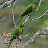 Witoogaratinga; Psittacara leucophthalmus; Whiteeyed parakeet; Conure pavouane