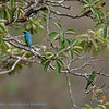 Zwaluwtangare; 2019; Tersina viridis; Swallow tanager; Tersine hirondelle; Schwalbentangare