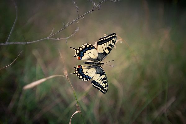 Atomic Machaon