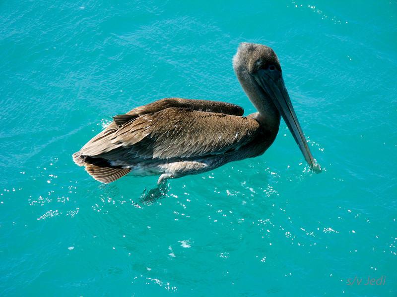 """IMG_1156.JPG<br /> Cruising Colombia: Cabo de la Vela.<br /> This Pelican came to visit """"Jedi"""" while anchored a Cabo de la Vela."""