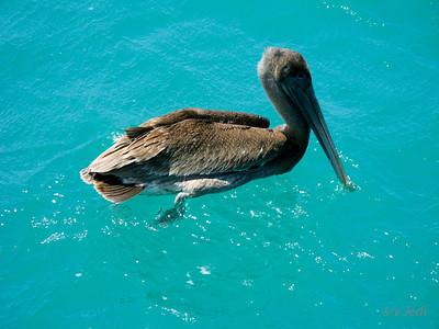 """IMG_1156.JPG Cruising Colombia: Cabo de la Vela. This Pelican came to visit """"Jedi"""" while anchored a Cabo de la Vela."""