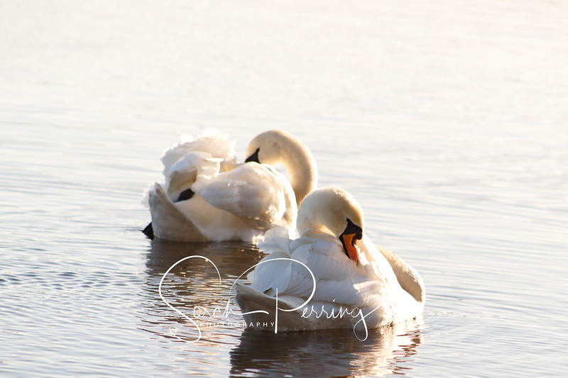Two swans swimming and preening themselves