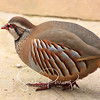 Red legged Partridge - Alectoris rufa