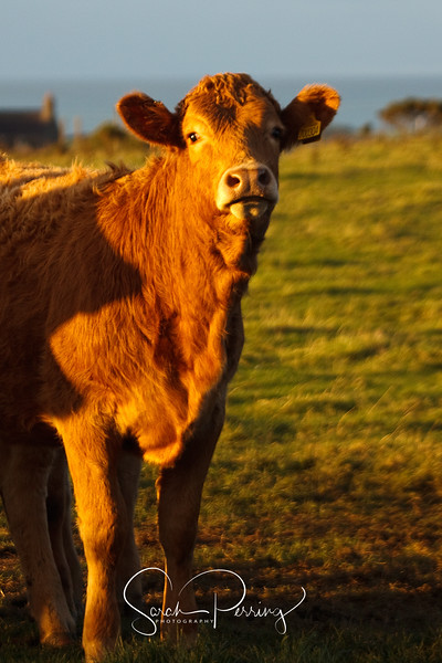 Bullock in the evening sun