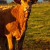 Bullock in the evening sun