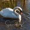 Swan swimming in the sunlight
