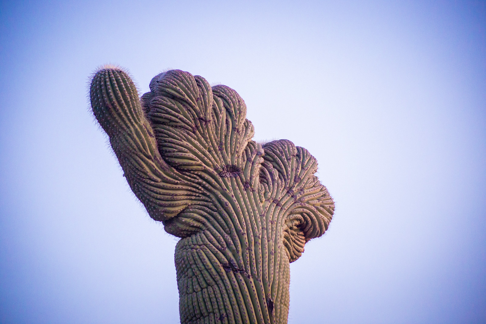 Crested Saguaro Saguaro National east