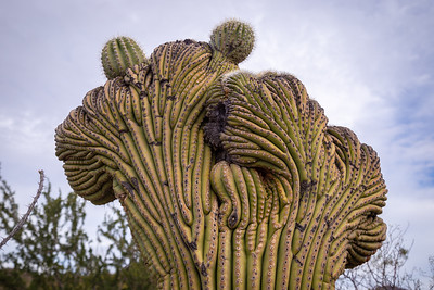 Crested Saguaro at the desert museum