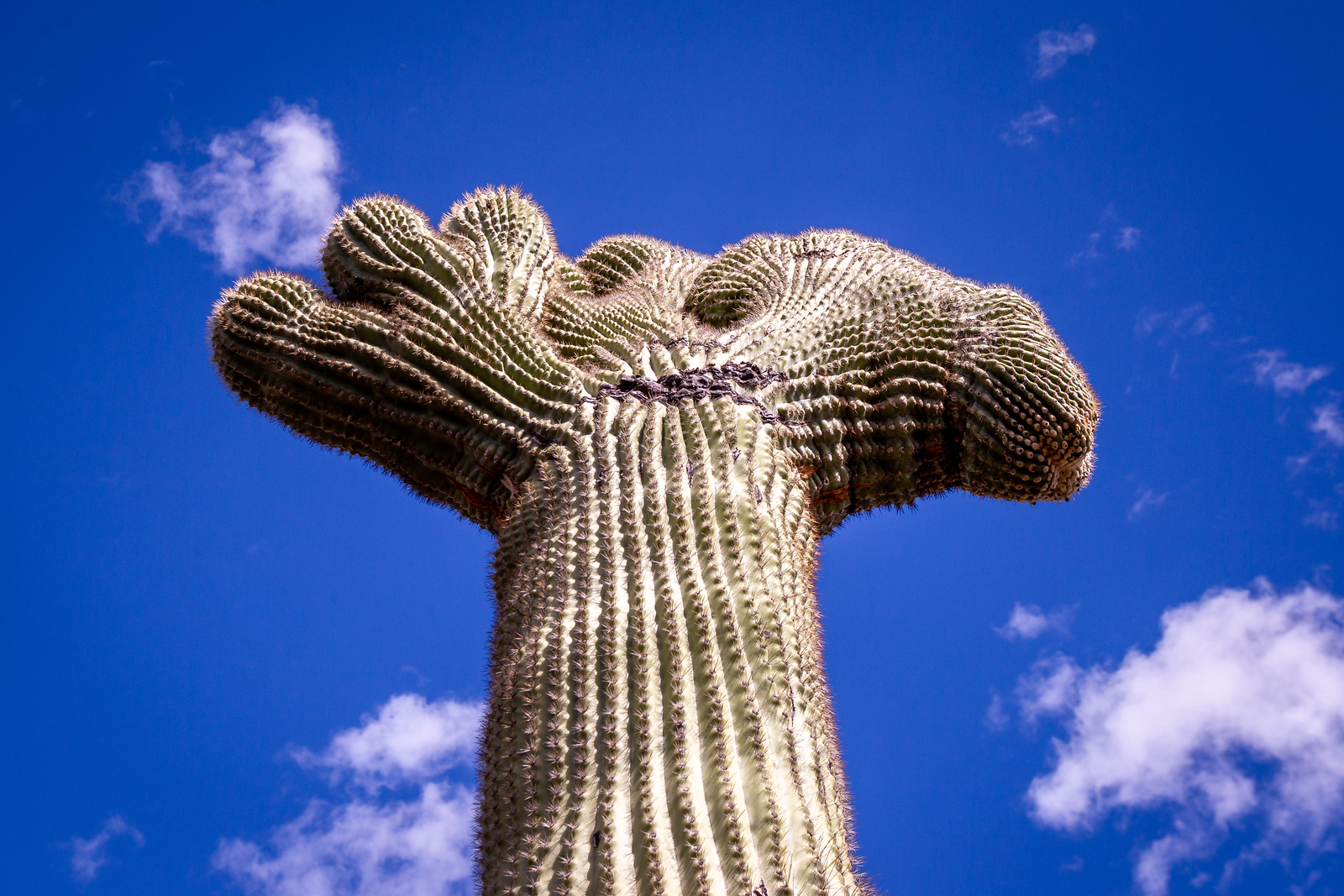 Crested Saguaro in west Tucson