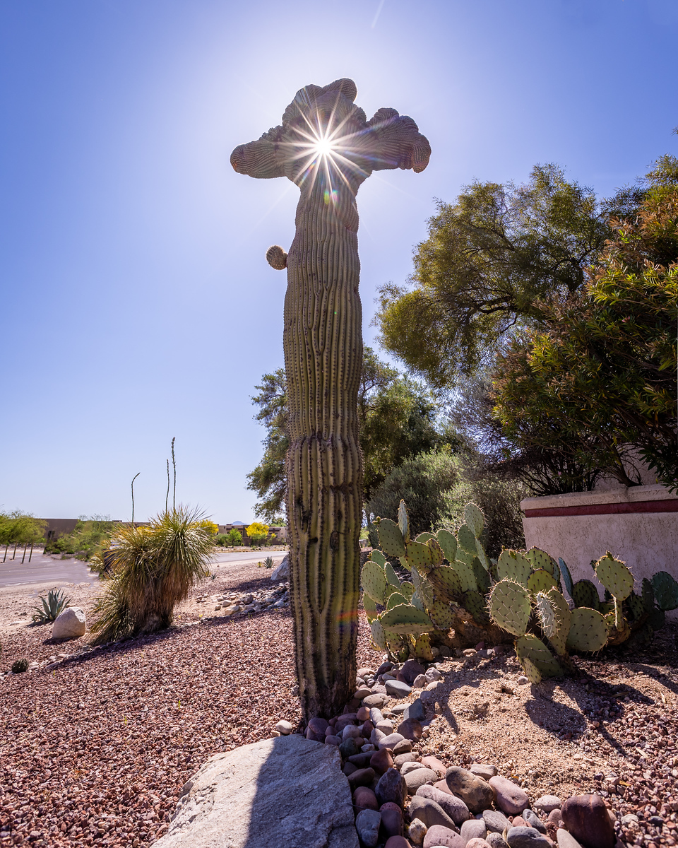 Holy Crested on Sabino Canyon Road