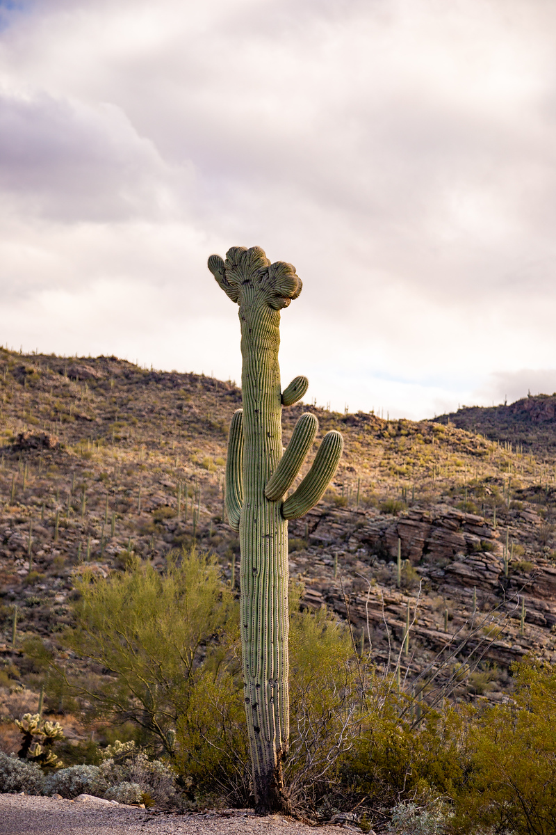 Crested Saguaro at Saguaro NAtional Park