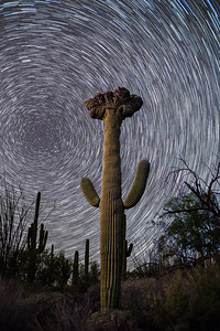 Crested Saguaro in Saguaro National park East with star trails