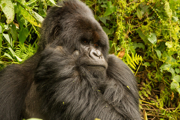 Scratching Silverback